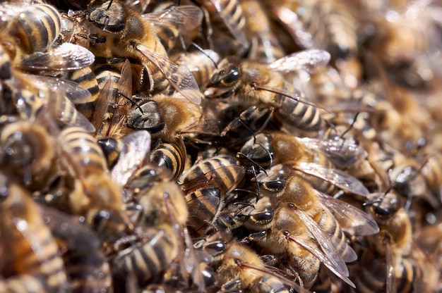 Swarm of bees in beehive
