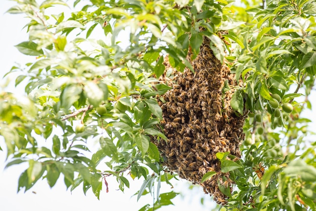 나무에 꿀벌 떼입니다. 따뜻한 계절에 정원에 있는 푸른 과일 식물의 가지에 많은 벌들이 모였습니다.