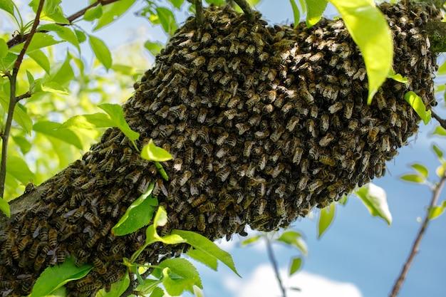 Рой пчел сидит на дереве
