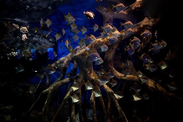 바닷물 탱크에 있는 monodactylus argenteus 바다 수족관 물고기 떼. 학교 다이아몬드 피쉬, monodactylus argenteus, 바닷물에서 수영.