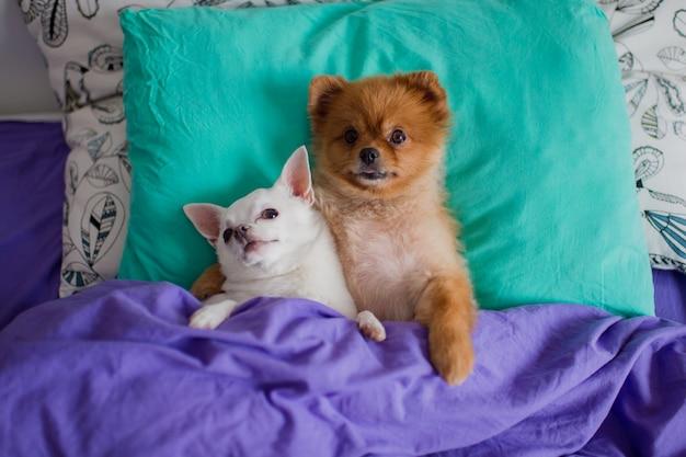 Сладкая и милая пара обнимающихся поморских щенков и щенков чихуахуа лежит на позвоночнике на подушке под одеялами с торчащими из нее когтями и со смешными лицами
