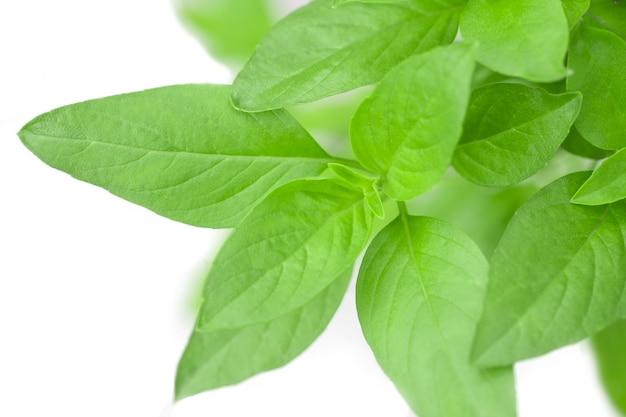 Sweet basil herb growing in a organic garden. thai basil leaf (ocimum basilicum)