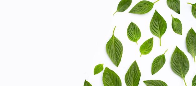 Sweet basil leaves on white background.