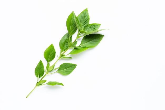 Sweet basil leaves on white.