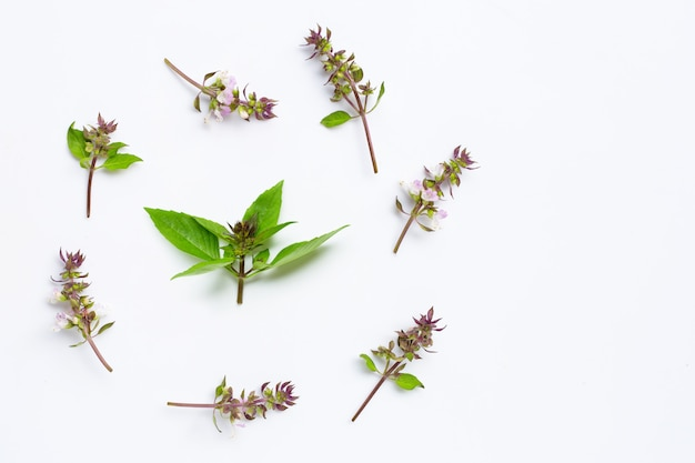 Sweet basil leaves with flower on white