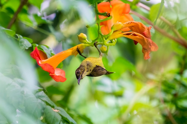 Sweet bird,olive backed sunbird drinks nectar from a pollen at orange flower. in the morning of summer.