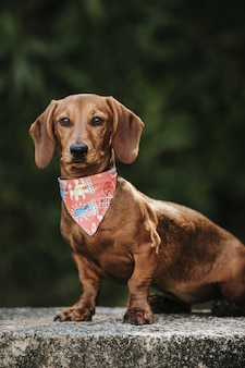 Милая коричневая карликовая такса со стильным шарфом на шее гуляет по улице