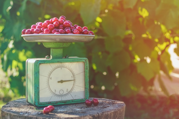 Sweet cherries on scales in the garden