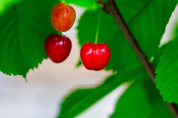 Красные ягоды черешни на ветке дерева заделывают.