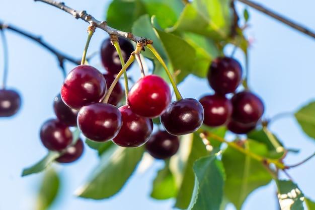 木の枝に甘いチェリーレッドベリーがクローズアップ。