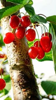 木の枝に甘いチェリーレッドベリーが夏の庭にクローズアップ