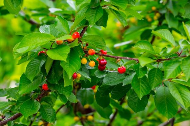 木の枝に甘いチェリーの赤い果実。