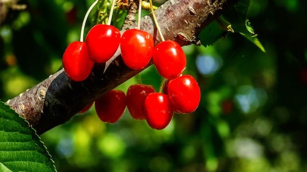 木の枝に甘いチェリーレッドベリー