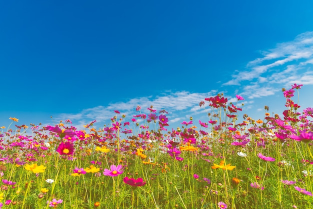 Sweet colorful of cosmos flower with blue sky and white clouds.