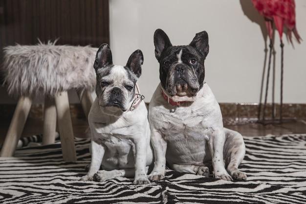 Dolce coppia di cani bulldog francesi seduti in una stanza guardando davanti