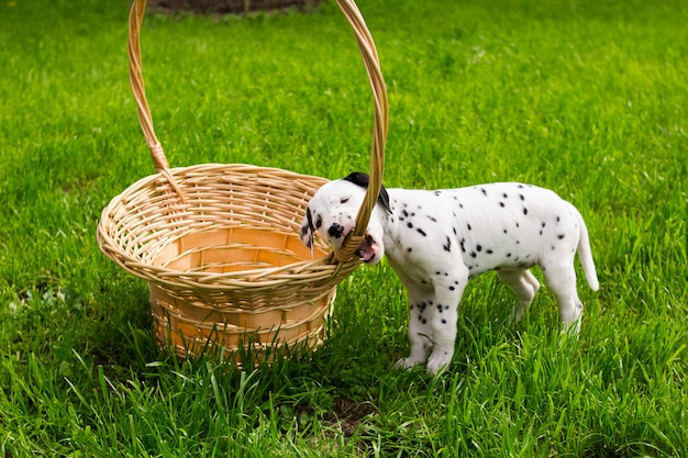 Sweet dog puppy in a green meadow with copy space. puppy dalmatians