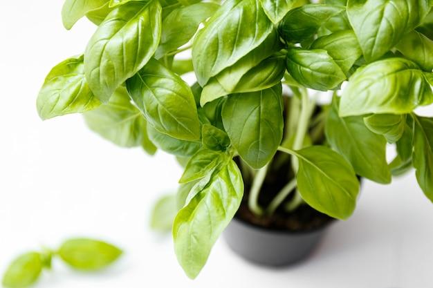 달콤한 genovese 바 질 잎 배경 흰색 절연. 평면도.
