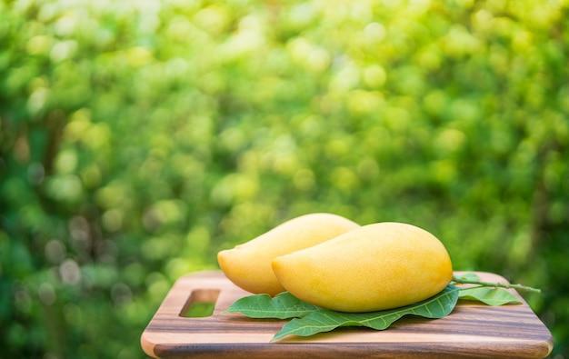 Сладкое золотое манго на зеленом саду. манго барракуда с зелеными листьями.