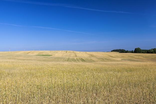 여름에 들판의 달콤한 녹색 설 익은 곡물은 농장에서 사람과 가축을 먹이기 위해 곡물과 곡물을 수확합니다.
