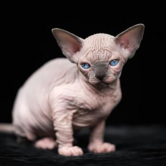 Sweet hairless kitten of canadian sphynx cat breed sitting on black background portrait of kitty