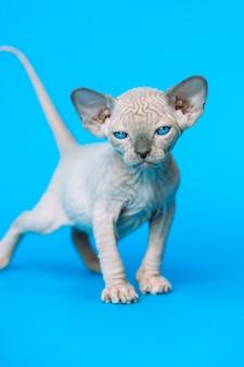 Сладкий лысый котенок породы канадский сфинкс стоит на синем фоне и смотрит в камеру