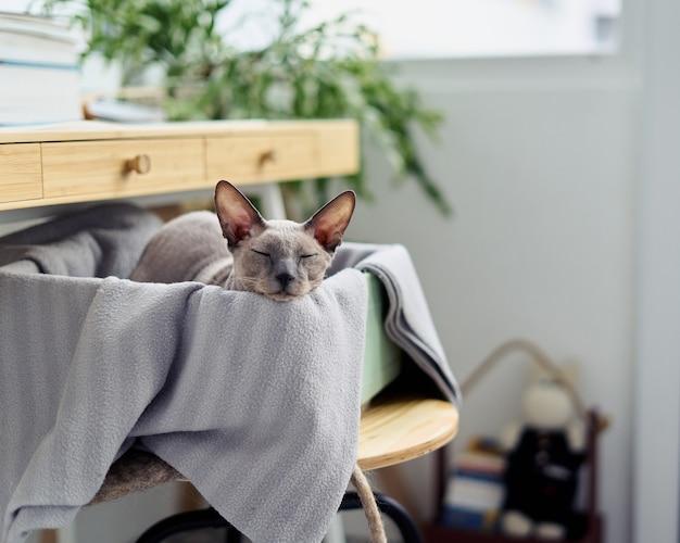 Милый маленький лысый серый котенок сфинкса спит под столом в коробке сонный кот в домашнем интерьере