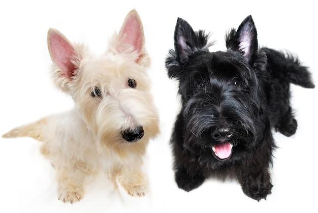 Сладкие маленькие черно-белые щенки шотландского терьера