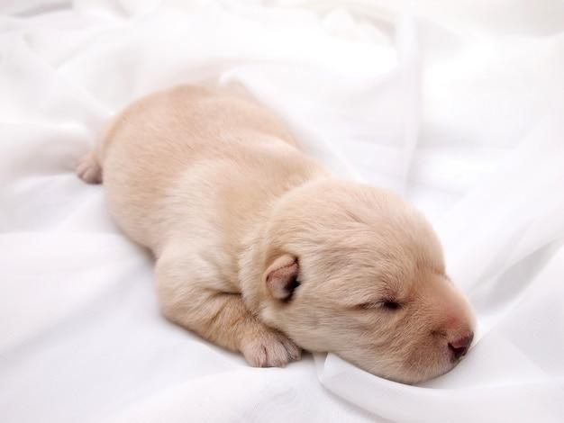 Sweet little wheaten scottish terrier puppy