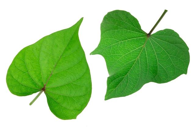 白い背景で隔離のサツマイモの葉