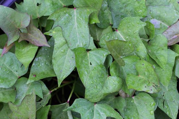 Листья сладкого картофеля в экологически чистом саду весной