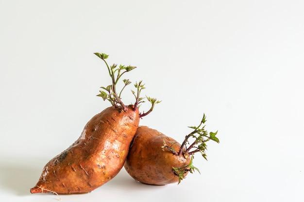 成長している植物とサツマイモ