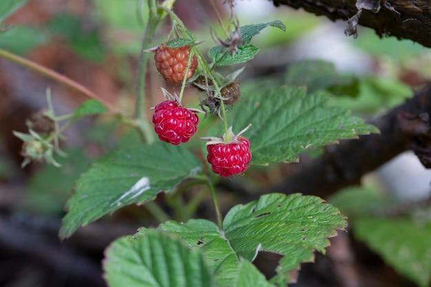 Сладкая красная малина на листьях, красные лесные ягоды rubus idaeus летом