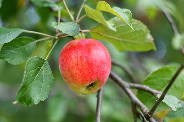 Созревание яблони в саду на ветке дерева.   Премиум Фото
