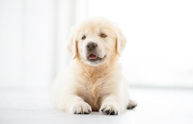 Sweet retriever puppy