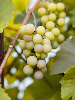 Sweet and tasty white grape bunch on the vine