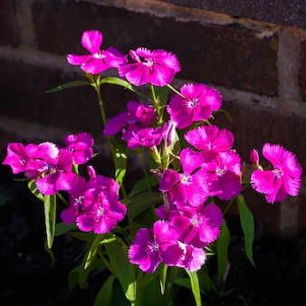 Sweet william (dianthus barbatus) flowering against a brick wall in the early morning sunshine