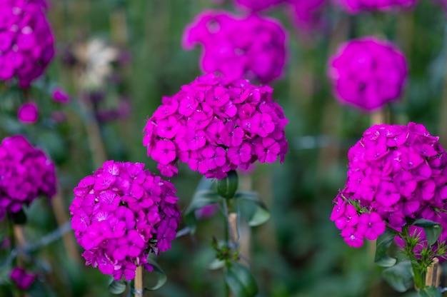 アメリカナデシコの花畑