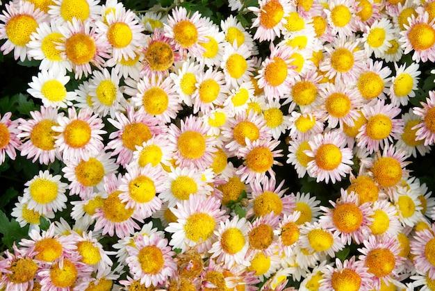 甘いイエローピンクの菊