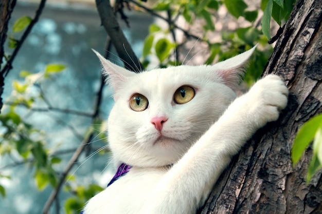Sweetheart white fluffy cat climbs tree in spring