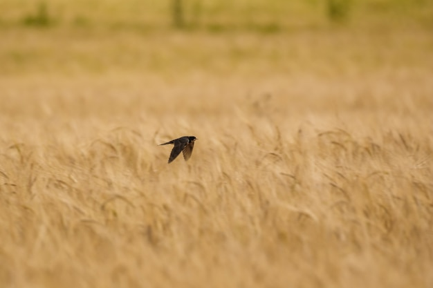 Swift fly over wheat