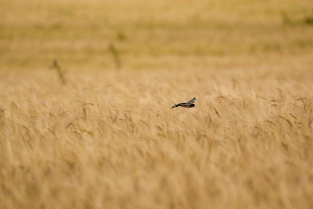 Стриж в природе над пшеницей