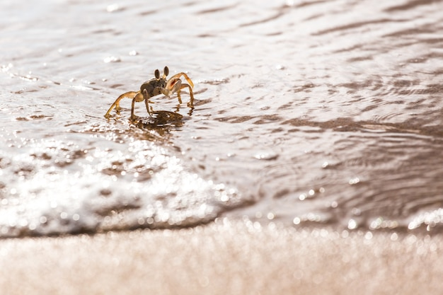 Swift land crab on the white beach, phuket thailand
