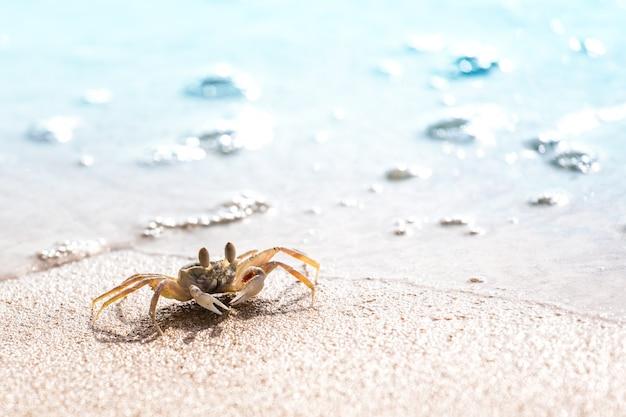 Swift land crab on the white beach, phuket thailand