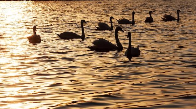 Купание на рассвете солнца группа лебедей, много лебедей в весеннее время года в золотых лучах во время рассвета или заката, весеннее время года на озере со стаей лебедей