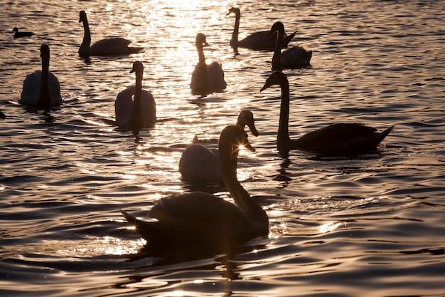 太陽のグループの白鳥の夜明けに泳ぐ、夜明けまたは日没の黄金の光線で一年の春の時期に多くの白鳥、白鳥の群れと一緒に湖で一年の春の時期