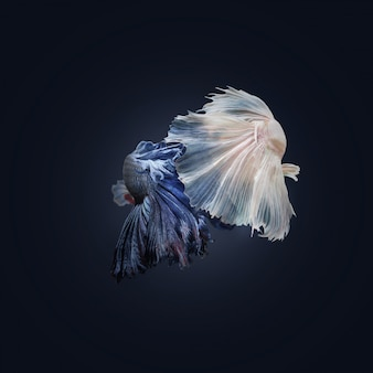 Swimming couple of siamese fighting fish in love.