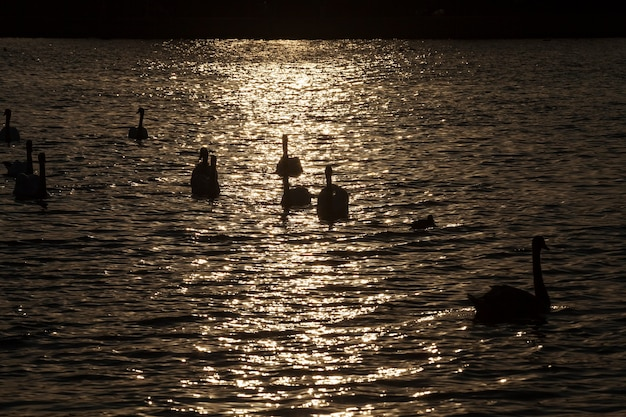 Swimming at dawn of the sun group swans
