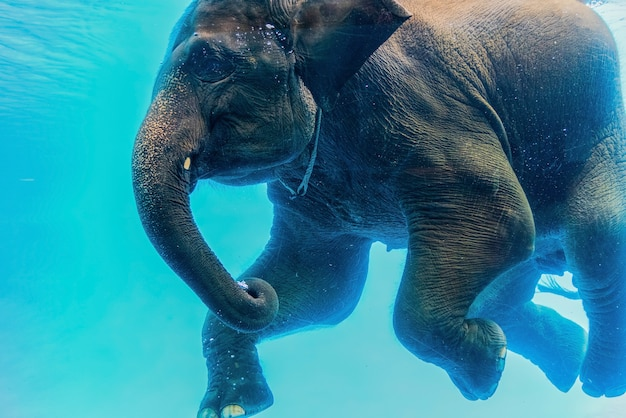 Swimming elephant underwater.