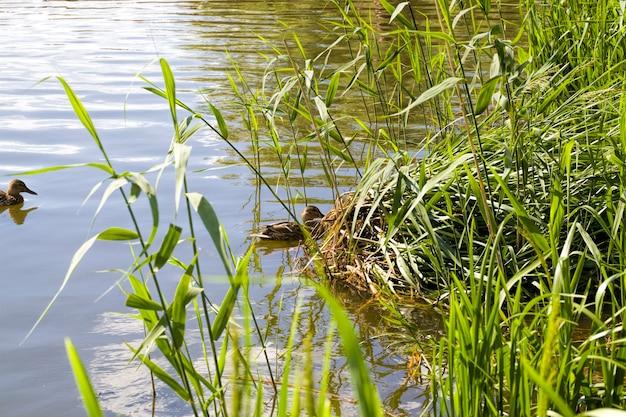 春のシーズンに湖の大人の野生のカモで泳ぐ