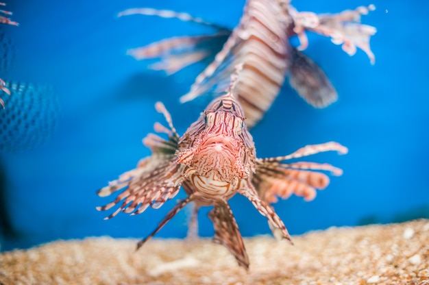Swimming red lionfish in blue background